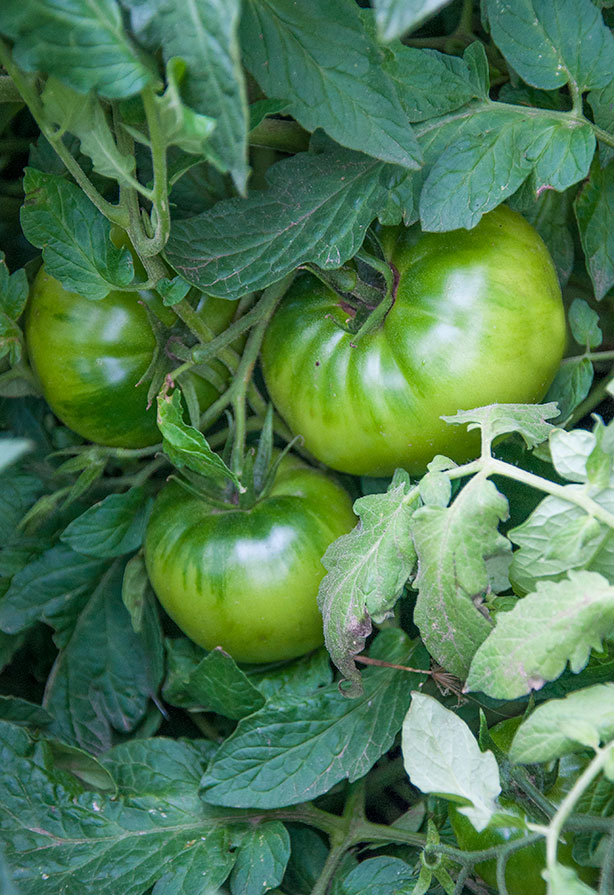 green-tomatoes-on-the-vine